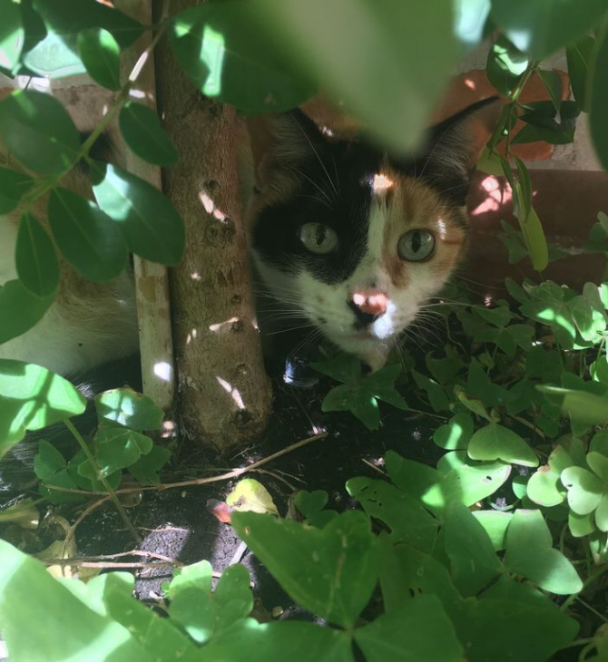A Calico Cat named Mississippi peaks out of a courtyardbush